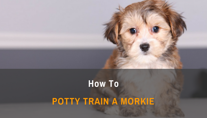How To Potty Train a Morkie