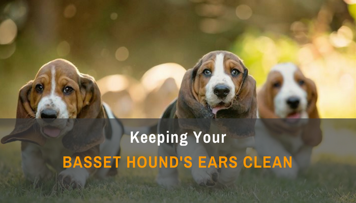 Keeping Your Basset Hound's Ears Clean