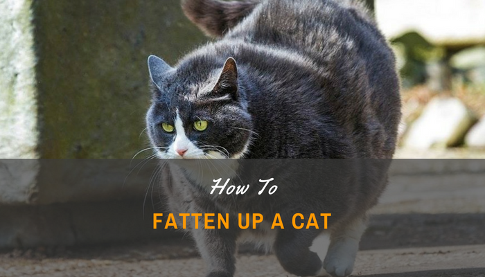 Top Tips on How to Fatten Up a Cat
