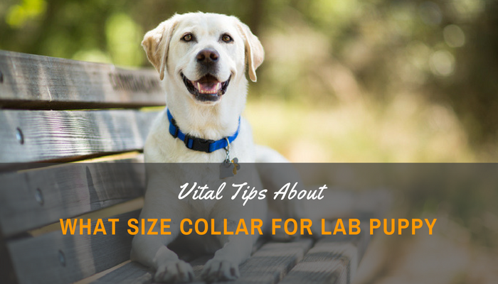 What Size Collar For Lab Puppy