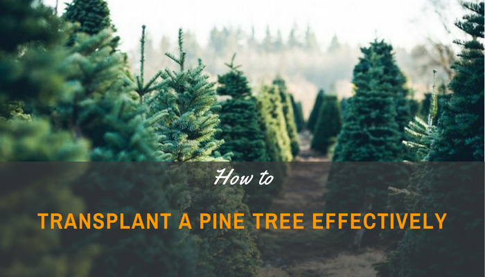 A Beginner's Guide On How To Transplant A Pine Tree Effectively