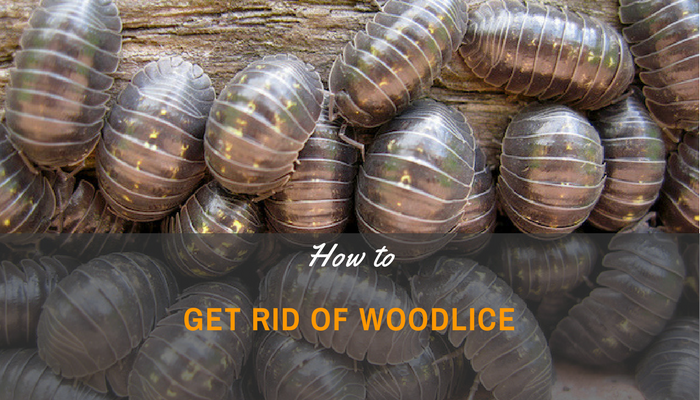 A Beginner's Guide On How To Get Rid Of Woodlice