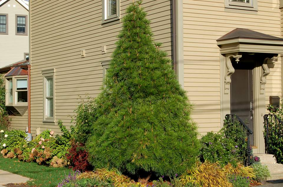 How Can I Transplant A Pine Tree Effectively