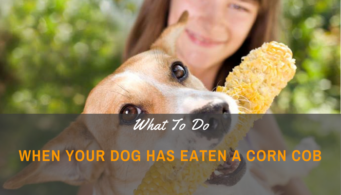 Advice On What To Do When Your Dog Has Eaten A Corn Cob